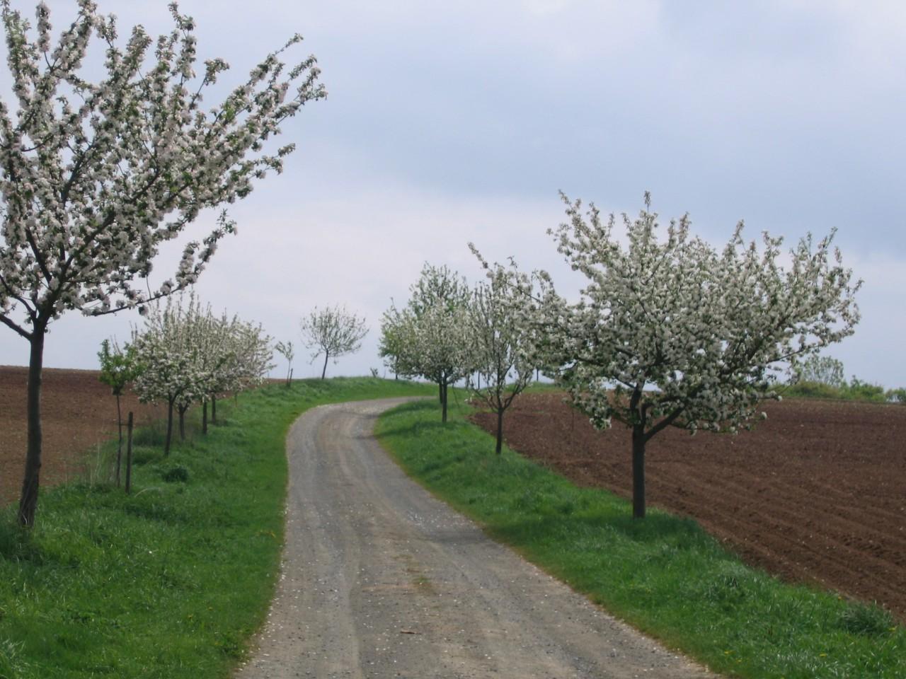 Neu angelegte Obstbaumallee in der Trift