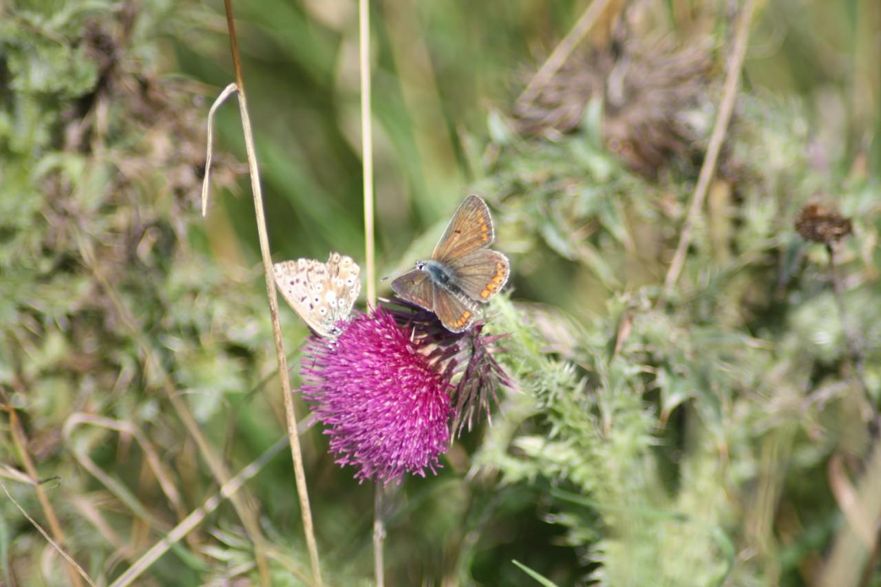 Schmetterlinge am kleinen Bärenberg